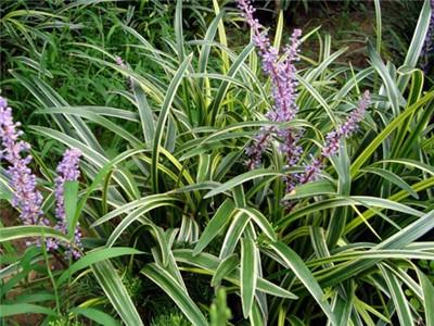 吉祥草的植物文化和应用价值